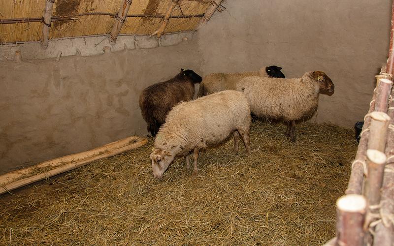 Rottahuis-schapen
